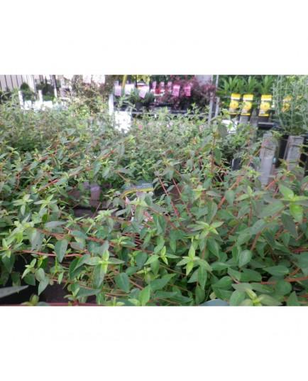 Abelia grandiflora x 'Pinky bells®'