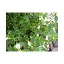 Abelia grandiflora x 'Sunshine Daydream'®'