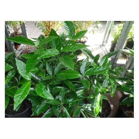 Aucuba japonica - Aucuba du Japon