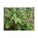Ampelopsis megalophylla - Vigne Vierge