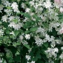 Clematis 'Paul Farges' - Clematite