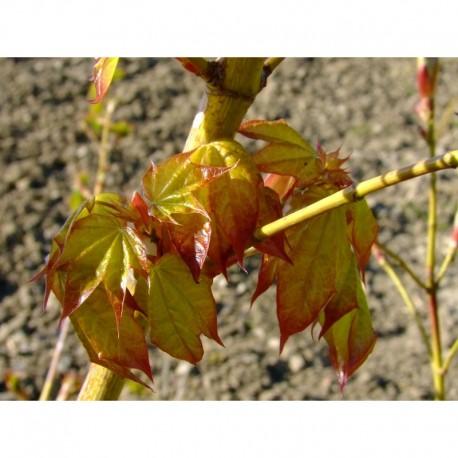 Acer cappadocicum 'Aureum' - érables