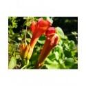 Campsis radicans 'Indian Summer' ® - Jasmin de Virginie