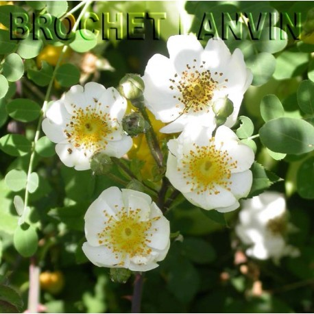 Rosa arvensis 'Juliet Williamson' - rosier botanique - Rosaceae