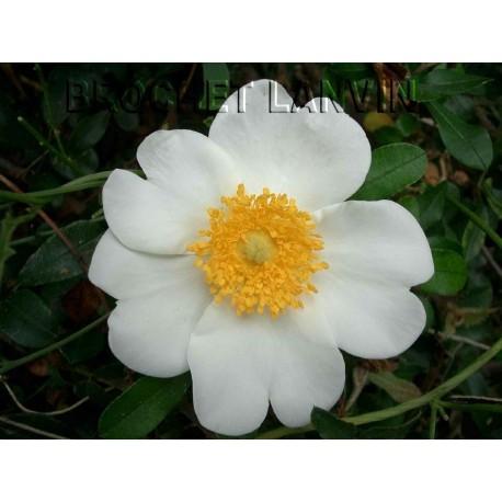 Rosa bracteata - rosier botanique - Rosaceae