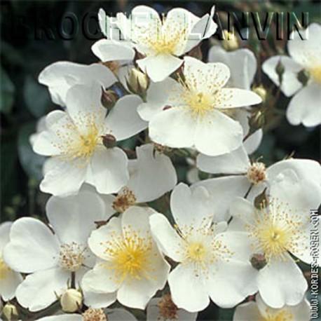 Rosa filipes 'Kiftsgate' - Rosaceae - rosier