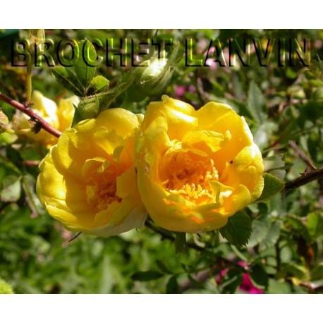 Rosa foetida var.persina - Rosaceae – rosier Persian Yellow