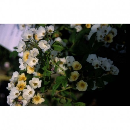 Rosa helenae - Rosaceae - rosier