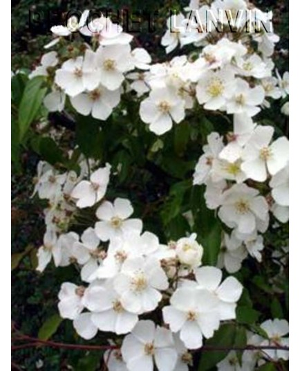 Rosa henryi - Rosaceae - rosier