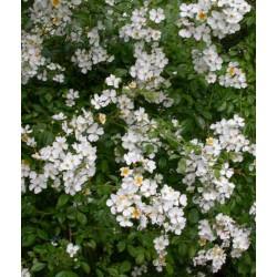 Rosa longicuspis - Rosaceae - rosier