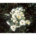 Rosa luciae - Rosaceae - Rosier