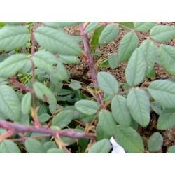 Rosa macrophylla - Rosaceae - Rosier