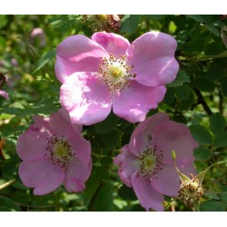 Rosa majalis - Rosaceae - rosier