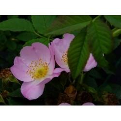 Rosa mollis - Rosaceae - rosier