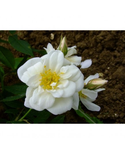 Rosa moschata plena- Rosaceae - Rosier