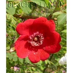 Rosa moyesii  'Geranium' - Rosaceae - rosier