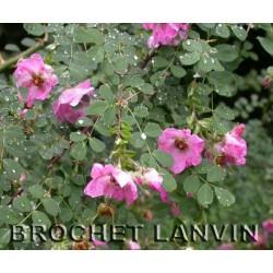 Rosa multibracteata - Rosaceae - Rosier