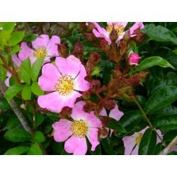Rosa multiflora var.adenochaeta - Rosaceae - rosier