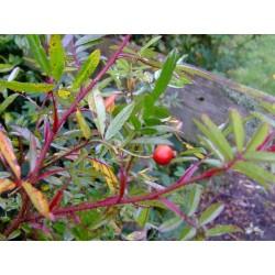 Rosa nitida 'Kebu' - Rosaceae - rosier