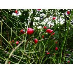 Rosa obtusifolia - Rosaceae - Rosier