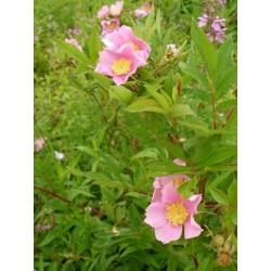 Rosa palustris - Rosaceae - Rosier des marais