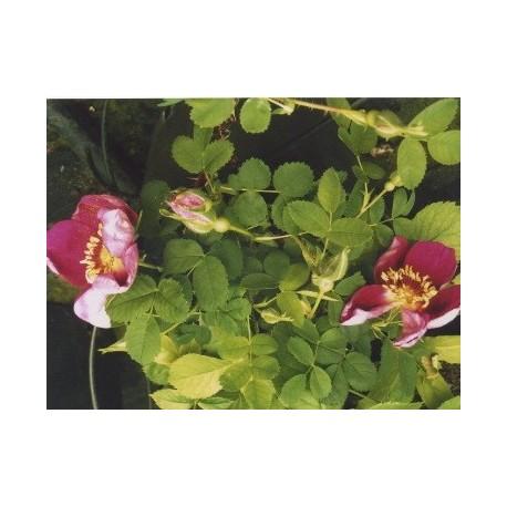 Rosa spinosissima rubra - Rosaceae - Rosier