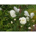 Rosa spinosissima 'Double White' - Rosaceae - rosier
