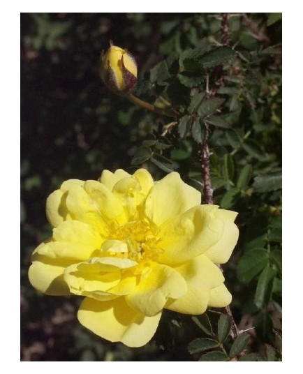 Rosa spinosissima 'Double Yellow' - Rosaceae – Rosier