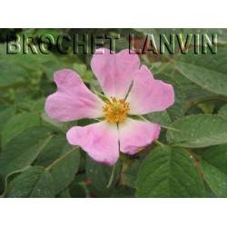 Rosa pomifera - Rosaceae - Rosier