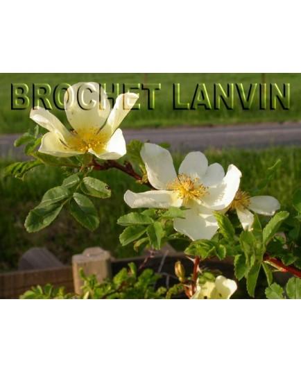 Rosa primula - Rosaceae - Rosier
