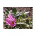 Rosa pulverulenta - Rosaceae - Rosier