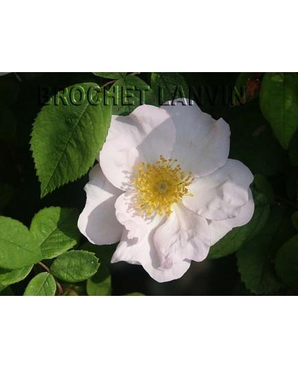 Rosa richardii - Rosaceae - Rose d'abyssinie, rosier de Saint Jean