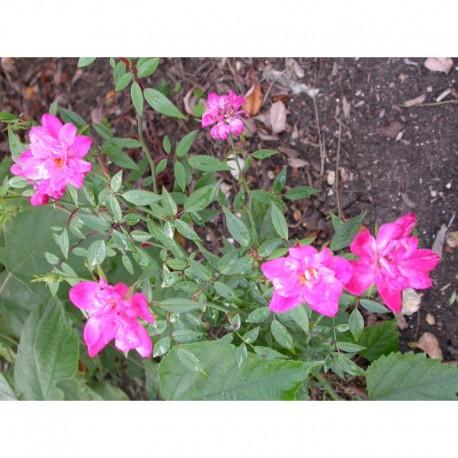 Rosa chinensis var minima - Rosaceae - Rosier