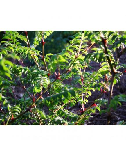Rosa hirtula - Rosaceae - Rosier