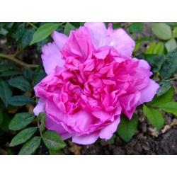 Rosa roxburghii - Rosaceae - Rosier