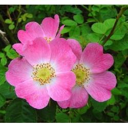 Rosa rubiginosa - Rosaceae - Rosier rouillé, rosier à odeur de pomme reinette