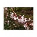 Abeliophyllum distichum - Abélie de Corée, Forsythia Blanc