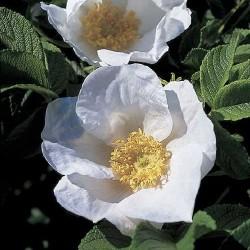 Rosa rugosa f.alba - Rosaceae - Rosier