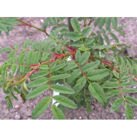 Rosa sericea subsp. omeiensis - Rosaceae - rosier