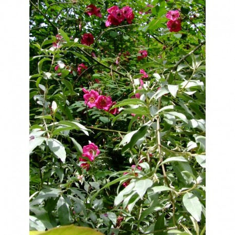 Rosa sweginzowii - Rosaceae - rosier