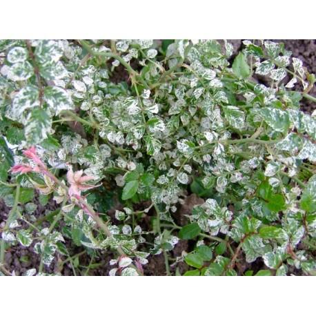 Rosa wichuraiana 'Variegata' - Rosaceae - Rosier de wichura