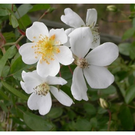Rosa wichuraiana - Rosaceae - Rosier botanique
