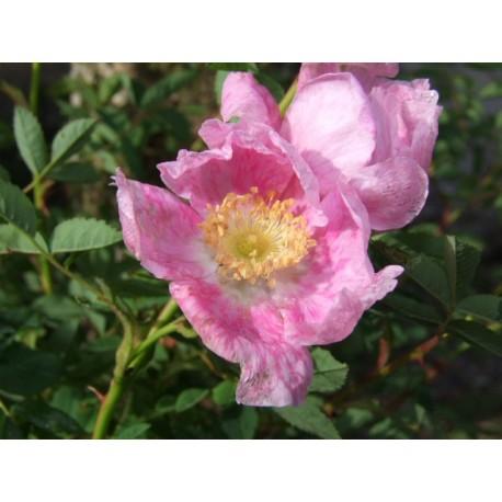 Rosa woodsii var. fendleri - Rosaceae - Rosier