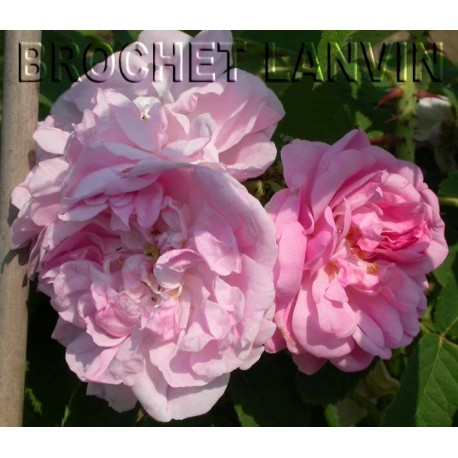 Rosa x damascena - Rosaceae - rosier