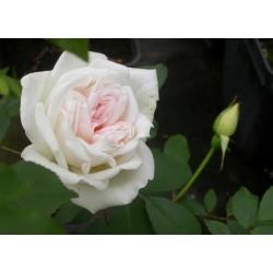 Rosa x odorata - Rosaceae - rosier
