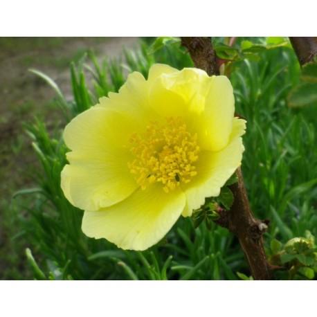 Rosa xanthina - Rosaceae - Rosier botanique