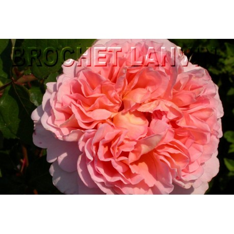 Rosa 'Abraham Darby' - Rosaceae - Rosier