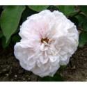 Rosa 'Acidalie' - Rosaceae - Rosier grimpant