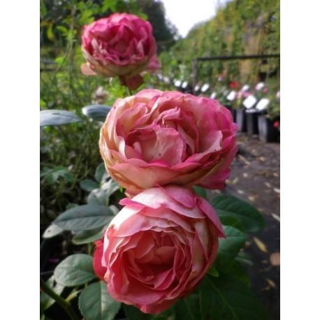 Rosa 'Acropolis' - Rosaceae - Rose, Rosier nain à bouquet,