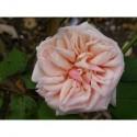 Rosa 'Adam' - Rosaceae - Rosier